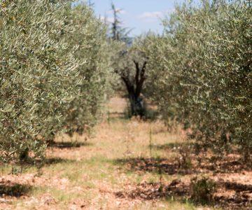 cultivo del olivo y el aceite en Jaén