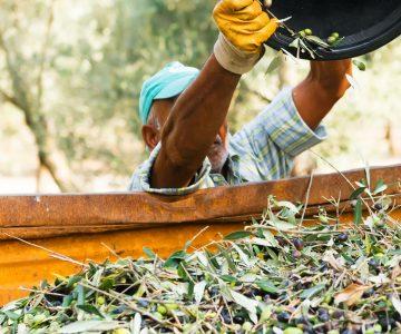 Cómo se produce el aceite de oliva